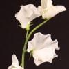 Lathyrus Winter Sunshine White (Bunch of 10) Online