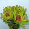 Leucadendron Rosette (Bunch of 10) Online