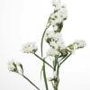 Limonium St. White Starlight Wings (Bunch of 10) Online