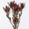 Lucadendron Salignum Blush (Bunch of 10) Online