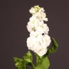 Matthiola Aida White (Bunch of 10) Online