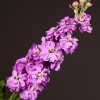 Matthiola Anytime Pink (Bunch of 10) Online