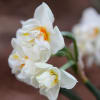 Narcissus Abba (Bunch of 10) Online