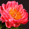 Peonies Coral Sunset (Bunch of 10) Online