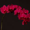 Phalaenopsis An Montreux (per Stem) Online