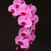 Phalaenopsis Surabaya (per Stem) Online