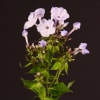 Phlox Miss Lolita (Bunch of 10) Online