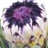 Protea Niobe (Bunch of 5) Online