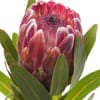 Protea Pink Ice (Bunch of 5) Online