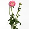 Ranunculus Aazur Pink (Bunch of 10) Online