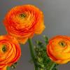 Ranunculus Amandine Orange (Bunch of 10) Online