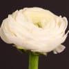 Ranunculus Amandine White (Bunch of 10) Online