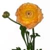 Ranunculus Andrea Cappuccino (Bunch of 10) Online