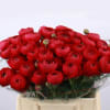 Ranunculus Cloni Extra Passion (Bunch of 10) Online