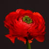 Ranunculus Clooney Tango Red (Bunch of 10) Online
