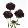 Scabiosa Black Berry Scoop (Bunch of 10) Online