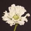 Scabiosa Caucasica Annabelle (Bunch of 10) Online