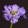 Scabiosa Caucasica Staefa (Bunch of 10) Online