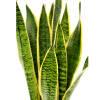 Snake Grass (Bunch of 10) Online