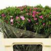 Sweet Williams Amazon Pink Magic (Bunch of 10) Online