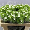 Sweet Williams Parzival Morholt (Bunch of 10) Online