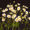 Tanacetum Campagne (Bunch of 10) Online