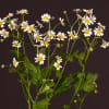 Tanacetum Single Vegmo (Bunch of 10) Online