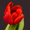 Tulip Abra (Bunch of 10) Online
