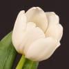 Tulip Antarctica (Bunch of 10) Online