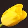 Tulip Concador (Bunch of 10) Online
