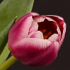 Tulip Cracker (Bunch of 10) Online