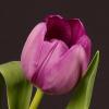 Tulip Negrita (Bunch of 10) Online