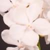 Vanda Diamond White (per Stem) Online